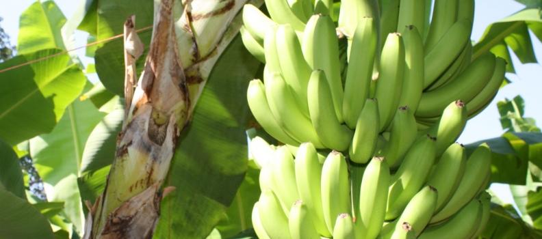 Orcelis Fitocontrol calcula la fertirrigación del cultivo del plátano