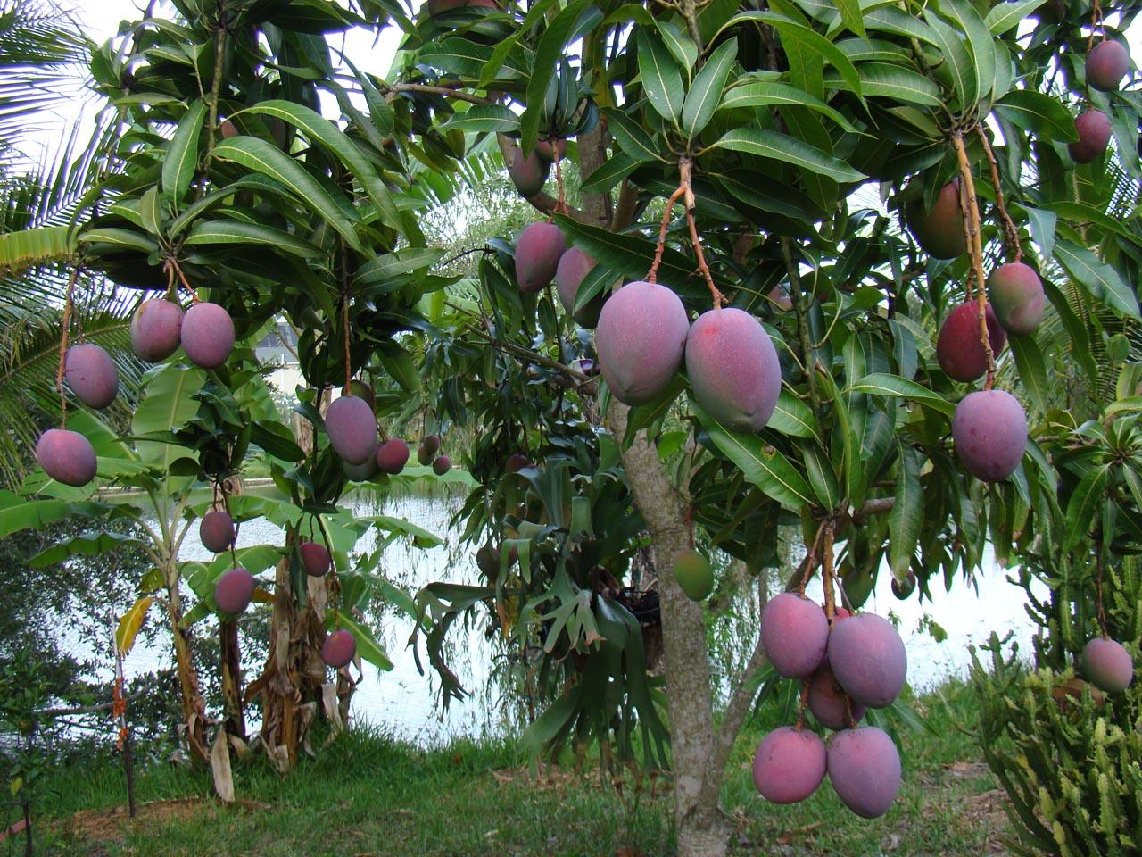 Orcelis Fitocontrol calcula la fertirrigación del cultivo del Mango