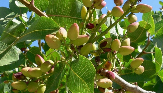 Orcelis Fitocontrol Calculates the Fertirrigation of Pistachio Farming