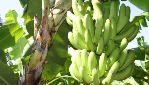 Orcelis Fitocontrol Calculates the Fertirrigation for the Banana Farming