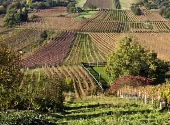 Mejoras y novedades en el cultivo de Viña: ahora uva de vino y uva de mesa